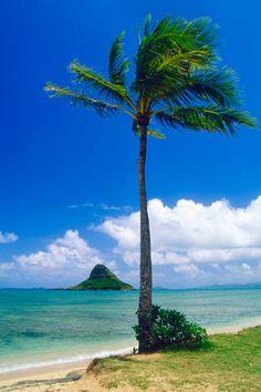 Palm Tree on the Beach, Kaneohe Bay, Oahu, Hawaii.
