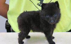 Schipperke Dog Breed - Pictures, Information, Temperament, Characteristics   Animals Breeds