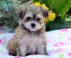 Lila | Maltipoo Puppy For Sale | Keystone Puppies