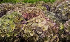 #Hydrangea # Hortensia #RodeoClassic; Available at www.barendsen.nl