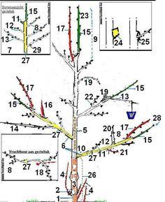 Eenvoudige een appelboom snoeien. Appelboomonderdelen: onderstam, entplaats, stam, vruchthout, bloem- en bladknoppen (gemengde knoppen) en bladknoppen. Fruitbomen: tips om appelboom snoeien.