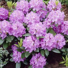Puistoalppiruusu Grandiflorum - Viherpeukalot