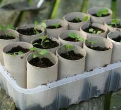 Toilet paper rolls to grow seedling plants indoors (also a cool recycle project for the babes school project)