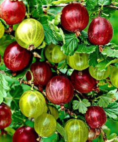 Gooseberries, Ribes uva crispa - 'Hinnonmäki Grün' (green) + Röd' (Red) | Netherlands