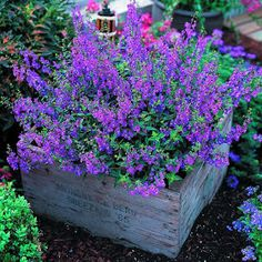 great images: Angelonia -It's easy to grow and flowers profusely great plant for our dry spells and heat. Not fussy about soil either. Butterflies love it!