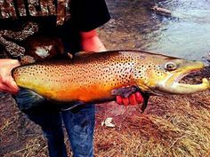 Dave Bowles Big brown trout