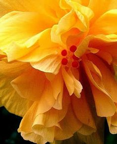 Burst of Hibiscus yellow