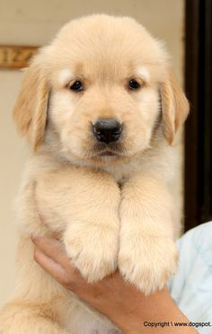 Cute Puppy Pictures Of Golden Retrievers