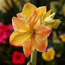 Image Result For Amaryllis Yellow Sunrise Bulb Flowers Amaryllis Flowers Amaryllis Bulbs