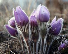 prairie crocus or pasqueflower.sure sign of spring in North Dakota Wonderful Flowers, Wonderful Images, Botanical Art, Botanical Illustration, Colorful Flowers, Wild Flowers, Spring Images, Eye For Beauty, Pretty Images