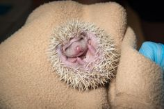 African Pygmy Hoglets Poke About at Oregon Zoo