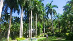 Cómo plantar palmeras en el jardín - http://www.jardineriaon.com/plantar-palmeras-en-jardin.html #plantas