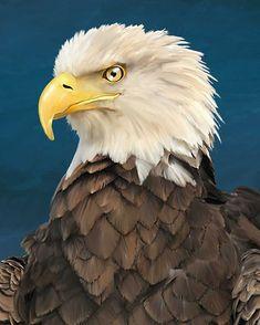Águila calva americana esta hermosa especie esta saliendo lentamente del peligro  #pintura #paint #illustration #art #digitalart #dibujo #arte #eagle #eaglepaint Eagle Painting, Africa Art, Bald Eagle, Wildlife, My Arts, Illustration, Bird, Photo And Video, Veronica