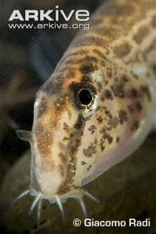 Spined loach (Cobitis taenia)