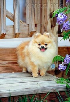 The Other Friends: 5 Interesting Facts about Pomeranian