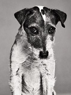 """Uggie, Jack Russell Terrier. From """"Great   Performances,"""" February 20, 2012 issue. Performance: The Artist."""