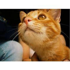 若いなぁ! 自分がイケメンなこと知ってる。  #love#kawaii#cat#猫#ネコ#ねこ#愛猫#おねこさま#茶虎#茶トラ#誠#ねこ部 #ねこすき#ねこすたぐらむ #ファインダー越しの私の世界 #写真好きな人と繋がりたい