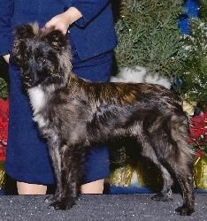 "GCH La Brise Triple Threat ""Trooper""  Pyrenean Shepherd (berger des Pyrenees) Breeder/Owner: Patricia Princehouse, La Brise Pyreneans, Co-Owner: Trudi Kimm, Co-Owner: Betty Wathne, Madcap Pyr Sheps (MD)"