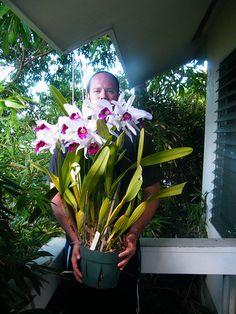 laelia cyermaniana orchids plants and flowers species | Laelia purpurata plant in full bloom.