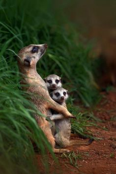 pretty mother meerkat hugging two babies