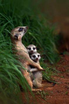 pretty mother meerkat hugging two babies
