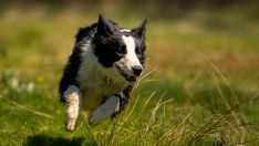 Feeding Your Canine AthleteBy GRETCHEN REYNOLDS dogs are not people. competing in a Frisbee or agility competition is, for a dog, glorious fun but relatively little exercise, requiring only about 25 percent more calories than lying on a rug.