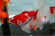 229 Best Freshwater Fish images in 2014 | Aquarium Fish ...