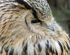 Source: Flickr / exilednortherner  #eurasian eagle owl