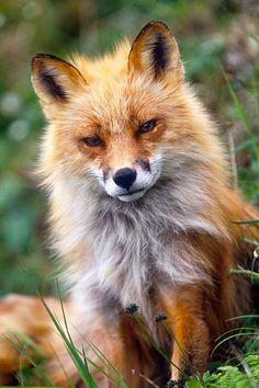 Red Fox - Round Island, Alaska, USA - by: (Jon Cornforth)
