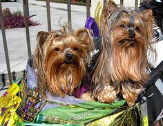 mardi gras dog | Mardi Gras Dog Parade, Lafayette Louisiana