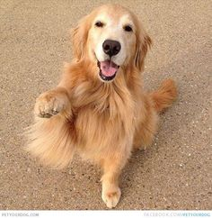 Take my PAW I will guide you to happiness | Golden Retriever
