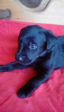 Labrador Retriever Puppy For Sale In Reed City Mi Usa Adn