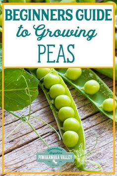 Are you new to gardening? Here is the beginners guide to growing peas for your vegetable garden, in step by step fashion, everything you need to know about planting peas in your backyard Organic Vegetables, Growing Vegetables, Planting Seeds, Planting Flowers, Growing Peas, Growing Greens, Johor Bahru, Home Vegetable Garden, Organic Gardening Tips