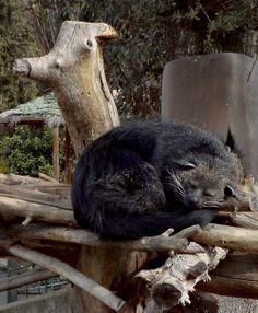 Bearcat. aka binturong (Arctictis binturong)
