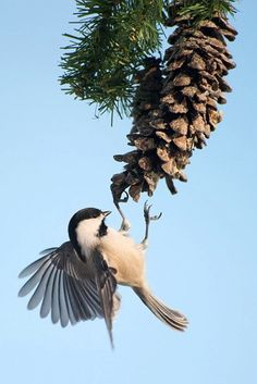 A beautiful little chickadee in flight! They're starting to reappear all around the Crown of Maine this time of year.