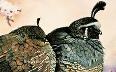 Pastel Valley Quail Painting. California Quail Painting by Roby Baer.