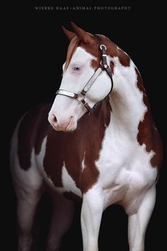 Gunners Revolution × American Paint Horse × Splash White × Hengststation Steinsberg Source by https: Most Beautiful Horses, All The Pretty Horses, Animals Beautiful, American Paint Horse, Cute Horses, Horse Love, Horse Photos, Horse Pictures, Cheval Pie