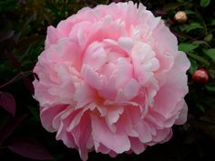 Peonies Garden, Peony, Cool Photos, Birds, Videos, House Plants, Youtube, Decorations, Flower