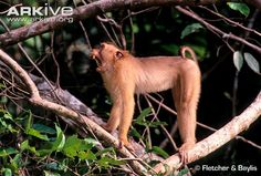 standing indian macaque - Google Search