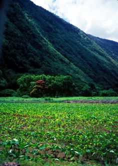 Waipio Valley Taro Field on The Big Island of Hawaii.