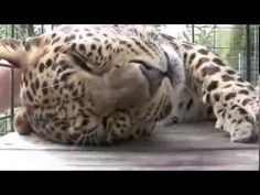 Leopard LIKES BEING PETTED - YouTube