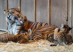 It was recently bath-time for Sumatran Tiger, 'Jaya' and her female cubs, at Point Defiance Zoo.  'Kirana', 'Dari', and 'Indah' seemed to be enjoying their beautification routine with mom.