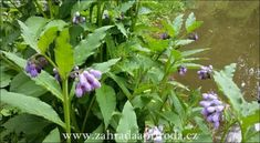 kostival, foto med Herbs, Plants, Pictures, Herb, Plant, Planets, Medicinal Plants