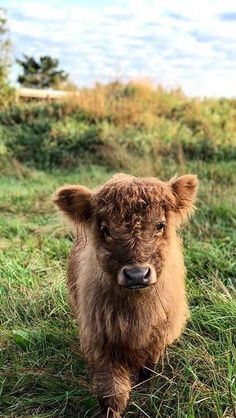 18 Adorable Cow Photos That Prove They Are Just Big Dogs - meowlogy Cute Baby Cow, Baby Cows, Cute Cows, Baby Elephants, Elephant Baby, Fluffy Cows, Fluffy Animals, Cute Little Animals, Cute Funny Animals