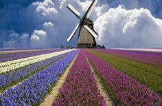windmill and flower field in holland Scenery Wallpapers| HD Wallpaper