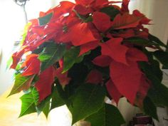poinsettia from Norman's garden gallery