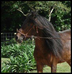 Duque, Garrano-Stallion
