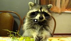 Raccoon Eats Grapes at the Dinner Table =D <3 Cuteness!!!