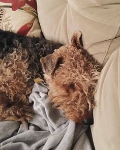 Every day I'm snugglin' #welshterrier #welshterriers #welshie #welshiesofinstagram #welshterriersofinstagram #instawelsh #instadog #terriers #dogstagram #dogsofinstagram #chicagodogs #dogsofchicago #cutedog #dogswithbeards #chicagodog #cutedogs #dogoftheday #snuggle #dogsnuggles #sleepydog #sleepyhead #bedhead  by oakleythewelsh  http://bit.ly/teacupdogshq