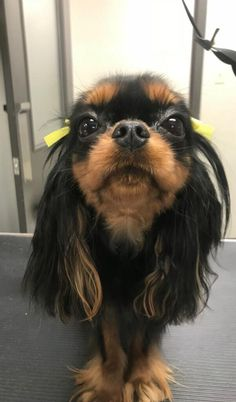 My 2 year old Cavalier King Charles Spaniel Priscilla Cavalier King Spaniel, Cavalier King Charles Dog, Cute Puppies, Cute Dogs, Dogs And Puppies, Doggies, Spaniel Puppies, Cute Little Animals, Dog Life